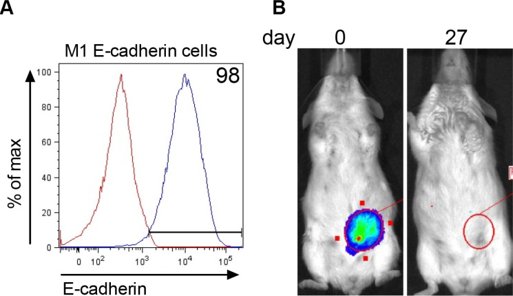 E-cadherin expression in M1 cells does not rescue tumorigenesis ( A ) Stable expression of E-cadherin in M1 cells transfected with Addgene plasmid #18804 expressing murine E-cadherin. Red line = E-cadherin expression in parental M1 cell line and blue line = membrane E-cadherin expression in transfected M1 cells. ( B ) Renilla luciferase bioluminescent signal in the MFP immediately (day 0) after injection of 2 × 10 6 M1 cells expressing E-cadherin and 27 days later. The figure represents data obtained from 9 mice.