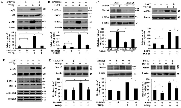 Analyses of the effect of p38, JNK1/2 and Notch3 inhibitions on TGF-β1-induced α-SMA expression and the regulation between MAPKs and Notch3 signaling in IMR-90 fibroblasts Cells were serum-starved overnight prior to treatment with TGF-β1 (200 pM). A-B. Effect of pretreatment with p38 inhibitor SB203580 (10 μM, 1 h) and JNK inhibitor SP600125 (20 μM, 1 h) on p38 and JNK1/2 phosphorylation and α-SMA level after TGF-β1 treatment. C. Impact of Notch3 siRNA knockdown or inhibitor DAPT (10 μM, 1 h) on TGF-β1-induced α-SMA expression. Cells were transfected with a scrambled control (siCtrl) or Notch3 siRNA (siNotch3) for 24 h prior to treatment with TGF-β1 for 48 h. D. Effect of DAPT pretreatment (10 μM, 1 h) on TGF-β1 (1 h)-induced p38 and JNK1/2 activation, as well as ERK1/2 activity. E. Effect of p38 inhibitor SB203580 (10 μM, 1 h), JNK inhibitor SP600125 (20 μM, 1 h) and ERK inhibitor U0126 (10 μM, 1 h) on Notch3 expression after TGF-β1 treatment for 48 h. The protein levels of α-SMA and Notch3 were quantified, normalized by β-actin and presented relative to the one treated with TGF-β1 alone (100%) as means ± SEM (n = 3-4). *, P