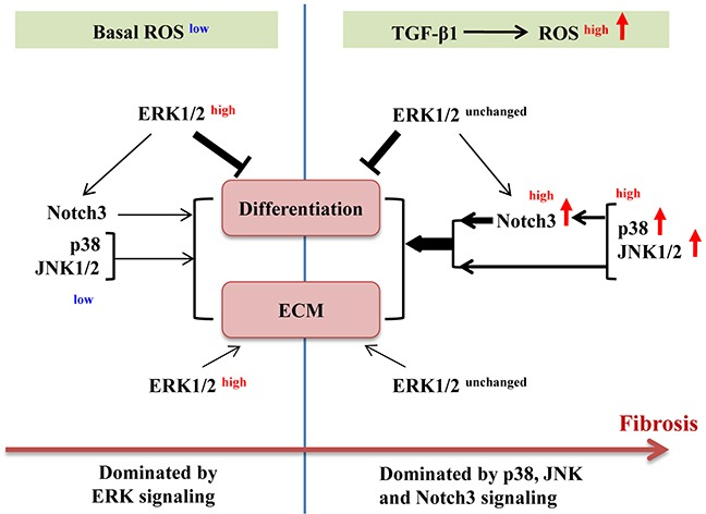 Schematic illustration of roles of ERK1/2, p38, JNK1/2 and Notch3 in basal and TGF-β1-induced myofibroblast differentiation ECM, extracellular matrix; ROS, reactive oxygen species; →, lead to/activate; , inhibit. Line thickness indicates the extent of impact. Superscripts indicate the level or activation status.
