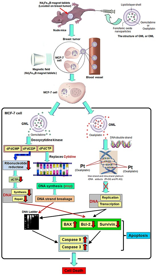 Proposed model of targeting therapy and signaling pathway involved in CGOML-induced apoptosis of MCF-7 cells: Nude mice bearing breast cancer (MCF-7) received intravenous injections of GML (35 μg of Gemcitabine/g) at day 1, 5 and then these mice also received intravenous injections of OML (5 μg of oxaliplatin/g) at day 3, 7; magnetic field (5000 GS) was applied to the tumor surface for 30 min after every injection The magnetic properties of GML or OML particles guide the gemcitabine or oxaliplatin to the tumor area of nude mice under an external magnetic field (Nd 2 Fe 12 B magnet tablets). GML or OML has excellent half-life periods and can be gradually biodegraded in MCF-7 cells, lead to gemcitabine of GML (or oxaliplatin of OML) slowly released in target cells. In MCF-7 cells, OML inhibited the replication and transcription of DNA by forming inter-strand and intra-strand platinum-DNA adducts (Pt-GG and Pt-AG), while GML prevented the synthesis and repair of DNA by inhibiting activation of ribonucleotide reductase, and stopped the the synthesis of DNA and broken strands of DNA by replacing the cytidine of DNA strands with dFdCTP. It leads to the phenomenon of DNA ladder, increase of BAX and decrease of <t>Bcl-2</t> and Survivin, eventual activation of caspase-9 and caspase-3 cause cell apoptosis in MCF-7 cells, resulting in MCF-7 cell death.