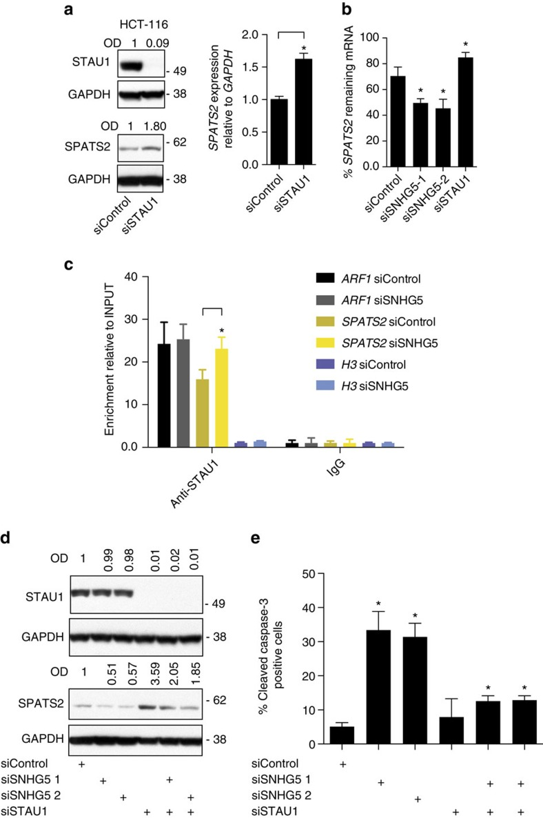 SNHG5 impairs the association between STAU1 protein and the SPATS2 mRNA. ( a ) Left, western blot for STAU1 and SPATS2 in HCT116 cells transfected with indicated siRNAs for 72 h. OD of protein bands is indicated relative to corresponding loading control GAPDH and normalized relative the non-targeting siControl. Right, qRT–PCR. HCT116 cells were transfected as described above. SPATS2 expression data are shown normalized to the GAPDH housekeeping gene and normalized to the non-targeting control siRNA. ( b ) qRT–PCR. HCT116 cells were transfected with the indicated siRNAs. Forty-eight hours after transfection the cells were treated with Triptolide at a final concentration of 10 μM for 5 h and the RNA subsequently extracted. The percentage retrieved SPATS2 mRNA was obtained by normalizing to the corresponding expression levels in the untreated cells. ( c ) RNA immunoprecipitation. HCT116 were transfected with the indicated siRNAs for 48 h. The cytosolic fraction was isolated from the ultraviolet-cross-linked cells and the IP performed with a STAU1-specific antibody. Rabbit IgG were included as negative control for the immunoprecipitation. The RNA was extracted, retro-transcribed and the SPATS2 mRNA levels evaluated. ARF1 was included as positive control and H3 mRNA as negative control. Error bars indicate±s.d. relative for the mean of three independent experiments (* P value