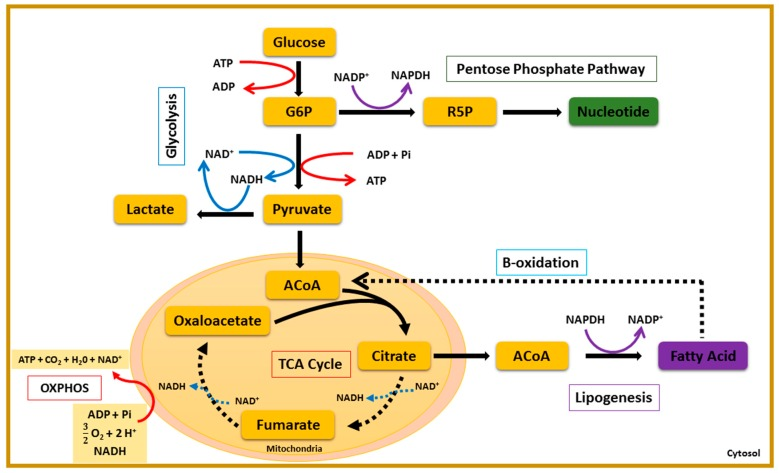 The central carbon metabolism (CCM). The CCM combines enzymatic reactions that convert carbon sources into biomass precursors. This figure shows the five main pathways forming the CCM: glycolysis, the pentose phosphate pathway, the tricarboxylic acid cycle (TCA), lipogenesis, and beta-oxidation. Two opposite metabolic demands are at the core of the CCM: anabolic reactions, which consist in biomass synthesis, and catabolic reactions, leading to the breakdown of macromolecules for energetic use. These two aspects of <t>cell</t> metabolism are managed by biochemical oscillators, including redox couples, such as <t>nicotinamide</t> <t>adenine</t> <t>dinucleotide</t> (NAD + /NADH) and nicotinamide adenine dinucleotide phosphate (NADP + /NADPH), and the universal energy carrier, adenine triphosphate (ATP/ADP). Transitions in CCM are reported to depend on these bio-oscillators. The NAD + /NADH ratio measures the glycolytic flux (glycolysis, PPP, and oxidative phosphorylation (OXPHOS). A high NADP + /NADPH ratio rewires glucose oxidation to the pentose phosphate pathway, whereas a low NADP + /NADPH ratio triggers lipogenesis. The ATP/(ADP + Pi) ratio senses the metabolic state of the cell and may lead to metabolic switches in the CCM.