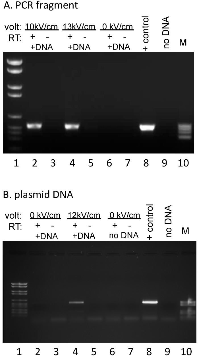 DNA introduced into mitochondria is transcribed: ( A ) Reverse transcription PCR (RT-PCR) products derived from RNA synthesized after incubation of isolated mitochondria with a 847 bp cy3-labeled PCR fragment with (10 kV/cm, 13 kV/cm) or without (0 kV/cm) electroporation. The +RT/−RT designation indicates reverse transcription reactions done in the presence or absence of enzyme, respectively. Lanes 1 and 10 contain size standards VI and V (Roche), respectively (M); PCR controls are shown in lanes 8 and 9. ( B ) RT-PCR products derived from RNA synthesized after incubation of isolated mitochondria with a 3.9 kb plasmid with (12 kV/cm) or without (0 kV/cm) electroporation. Samples in lanes 6 and 7 demonstrate the lack of background with total mitochondrial RNA (no exogenous DNA, no electroporation) with this set of plasmid-specific PCR primers. Other labels as in A.
