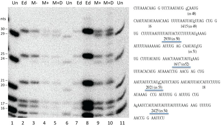 The editing machinery is still functional after electroporation. Gel electrophoresis of RNase T1 products generated from S1 nuclease-protected RNA fragments that encompass the last seven editing sites of the atpA mRNA. Internally labeled RNAs were synthesized by mitochondria before electroporation (M−, lane 3), mitochondria after electroporation in the absence of exogenous DNA (M+, lanes 4 and 9), and mitochondria after electroporation in the presence of exogenous DNA (M +D, lanes 5 and 10). Different amounts of the same RNase T1 digests were loaded in lanes 4 and 9 and lanes 5 and 10. Multiple dilutions of RNase T1 digests of S1 nuclease-protected unedited (Un, lanes 1, 6, and 11) and edited (Ed, lanes 2, 7, and 8) control transcripts were run alongside for comparison. The sequence of the RNase T1 fragments from the protected region of the atpA mRNA is shown at the right, with the C residue added at editing sites 48 through 54 (es48–es54) indicated by a lower case c . Easily resolvable RNase T1 fragments diagnostic of editing are underlined and the size in nucleotides (nts) of the edited and unedited fragments are indicated on the sequence and to the left of the gel.