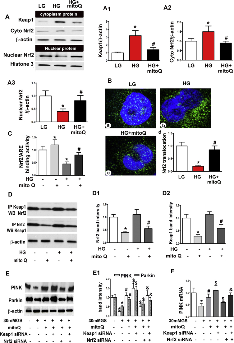 The restorative effect of mitoQ on PINK and Parkin expression was mediated in part by <t>Nrf2/Keap1.</t> A: Immunoblotting assay for Keap1 and Nrf2 expression, which showed that mitoQ inhibited Keap1 and cytoplasmic Nrf2 expression in HK-2 cells exposed to HG and restored nuclear Nrf2 expression. A1-A3: Quantification of average Western blot band intensity. B: Immunofluorescence assay for Nrf2 showing decreased antibody staining intensity in HK-2 cells after incubation under HG conditions. MitoQ up-regulated the inhibition of Nrf2 intensity in HG-exposed cells. C: Bar graphs depicting Nrf2 binding to the ARE. D: The interaction between Keap1 and Nrf2 in HK-2 cells subjected to HG exposure with or without mitoQ was assessed using IP. D1 and D2: Quantification of the intensity of the interaction between Keap1 and Nrf2 using IP. E: Western blot analysis revealed that mitoQ restored PINK and Parkin expression in HK-2 cells exposed to HG, an effect that was partially abolished by transfection with Keap1 siRNA or Nrf2 siRNA. E1: Quantification of average Western blot band intensity. F: Similar results were observed for PINK mRNA expression, as demonstrated by real-time PCR. *P