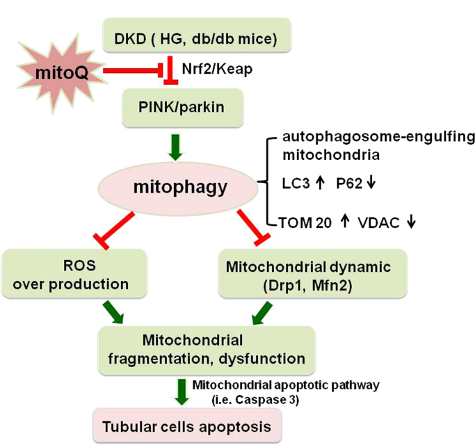 Schematic diagram depicting the possible molecular mechanisms by which mitoQ prevents renal tubular cell injury by maintaining mitochondrial integrity under HG conditions. Under HG conditions, nuclear Nrf2 expression and activity are down-regulated in tubular cells, which decreases PINK1 transcription and subsequent Parkin phosphorylations and then leads to defective mitophagy. This insufficient mitophagy results in ROS overproduction and aberrant mitochondrial dynamics characterized by Drp1 activation and Mfn2 suppression, changes accompanied by mitochondrial dysfunction, fragmented mitochondria accumulation and mitochondrial apoptotic pathway activation, i.e., caspase 3 release, which eventually leads to cell apoptosis. Interestingly, mitoQ treatment increases the dissociation of Nrf2 from Keap1, and the nuclear location of the former up-regulates the transcription of PINK and restores mitophagy, which maintains mitochondrial quality control, thereby attenuating hyperglycemia-induced tubular injury and apoptosis.