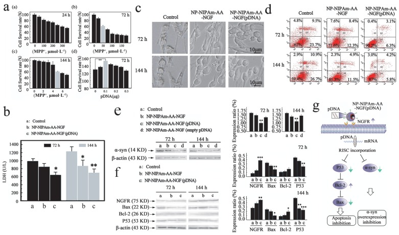 Measured efficacy data in vitro . (a), Cellular apoptosis model induced by MPP + at 24 h, 72 h and 144 h, and pDNA concentration screening. (b), The LDH expression determined using the LDH detection kit for the control, NP-NIPAm-AA-NGF and NP-NIPAm-AA-NGF (pDNA) group at 72 h and 144 h. (c), Cell morphology evaluated by light microscopy (black bars, 10 μm). (d), Cell mortality data assessed by flow cytometry in the three groups: control, NP-NIPAm-AA-NGF, and NP-NIPAm-AA-NGF (pDNA) at 72 h and 144 h. (e), Protein expression of α-syn by western blot analysis in the control, NP-NIPAm-AA-NGF, NP-NIPAm-AA-NGF (pDNA) and NP-NIPAm-AA-NGF (empty pDNA) groups at 72 h and 144 h. (f), Protein expression of NGFR, Bax, Bcl-2, and P53 determined by western blot analysis in the control, NP-NIPAm-AA-NGF and NP-NIPAm-AA-NGF (pDNA) groups at 72 h and 144 h. The blots were re-probed to detect β-actin as a control to confirm equal protein loading. Protein expression determined using Image pro-plus 6.0. (g). The possible molecular mechanisms for multifunctional nano-biomaterials release α-syn interference plasmid to inhibit the synthesis of α-syn. The relative levels are plotted at a significance of p