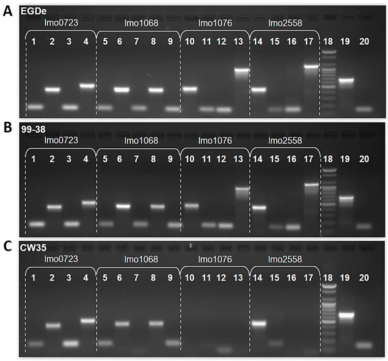 PCR products from genomic DNA of L. monocytogenes EDGe (Panel A), 99-38 (Panel B), and CW35 (Panel C) for PCR nucleotide evaluation of lmo0723, lmo1068, lmo1076, and lmo2558. Different gene-specific primer pairs were used for PCR amplification and subsequent agarose gel analysis of products. PCR primer combinations were based on L. monocytogenes type strain EGDe (Panel A) and tested on 99-38 (Panel B) and CW35 (Panel C). Gene lmo0723 : Lane 1, 0723A (148bp); 2, 0723B (416bp); 3, 0723C (150bp); 4, 0723D (505bp); lmo1068 : 5, 1068A (149bp); 6, 1068B (438bp); 7, 1068C (149bp); 8, 1068D (440bp); 9, 1068E (147bp); lmo1076 : 10, 1076A (470bp); 11, 1076B (150bp); 12, 1076C (146bp); 13, 1076D (991bp); lmo2558 : 14, 2558A (458bp); 15, 2558B (148bp); 16, 2558C (149bp); 17, 2558D (1129bp); 18, 100bp DNA ladder; 19 and 20, positive controls.