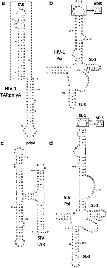 Sequence and mfold-predicted secondary structure of TAR and Psi RNA constructs used in this study. a HIV-1 TARpolyA. b HIV-1 Psi. c SIVmac TAR. d SIVmac Psi. In all cases, numbering refers to the nt position in gRNA. The box in ( a ) indicates HIV-1 TAR RNA. The boxes in ( b , d ) indicate the ∆DIS mutation, where DIS loop residues are replaced with a GNRA-type tetraloop (GAGA) to eliminate dimerization