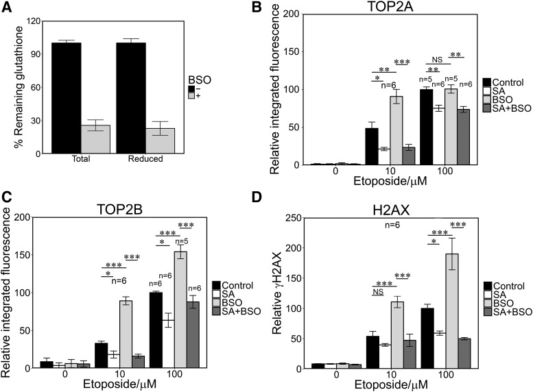 Glutathione depletion increases etoposide-mediated TOP2-DNA covalent complex formation and H2AX phosphorylation. (A) BSO preincubation (150 μ M, 4.5 hours) resulted in 70% reduction of total and reduced glutathione in NB4 cells. (B–D) NB4 cells were incubated in the presence or absence of SA (200 μ M) for 48 hours, BSO (150 μ M) for 4.5 hours, with both or with neither, followed by addition of 10 or 100 μ M etoposide for 1 hour. TARDIS and γ H2AX assays were performed as described in Figs 1 and 3 . Numbers of replicates are indicated. * P