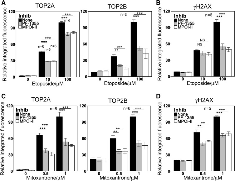 Direct MPO inhibition reduces the level of TOP2-DNA covalent complexes formation and H2AX phosphorylation induced by etoposide or mitoxantrone in NB4 cells. (A and B) NB4 cells were pretreated with MPO inhibitors PF-1355 (10 μ M, 4 hours) or MPOi-II (5 μ M, 4 hours) before adding 10 or 100 μ M etoposide or a vehicle control for 1 hour. (C and D ) NB4 cells were pretreated with MPO inhibitors as in (A and B) before adding 0.5 or 1 μ M mitoxantrone or a vehicle control for 1 hour. TOP2-DNA covalent complexes (A and C) and γ H2AX (B and D) were quantified as in Figs 1 and 3 . Numbers of replicates are indicated. ** P