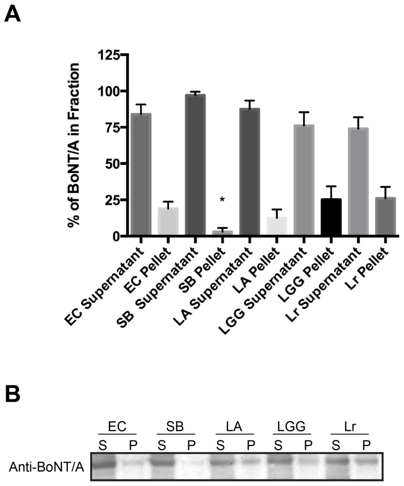 Decreased cellular uptake of BoNT/A complex is not due to the proteolytic degradation of holotoxin nor binding of toxin to probiotics. BoNT/A was added to either Escherichia coli MG1655, or probiotics and incubated for 4 h at 37 °C. Soluble supernatant (S) and insoluble pellet (P) fractions were precipitated with trichloracetic acid (TCA). Precipitates were solubilized with sample loading buffer and loaded onto 10% <t>Bis-Tris</t> <t>NuPage</t> gels. Gels were transferred onto PVDF membranes and incubated with primary polyclonal antibody to BoNT/A (Metabiologics) and secondary goat anti-rabbit-HRP. Western blot was developed using Pierce SuperSignal ECL substrate. ( A ) Mean percent signal of BoNT/A in each fraction was quantified from four independent experiments ± SEM using FluorChem SP (Alpha Innotech); ( B ) Representative Western depicting the presence of full length BoNT/A. Statistical significance was determined by a two-tailed unpaired Student's t -test, (*) p