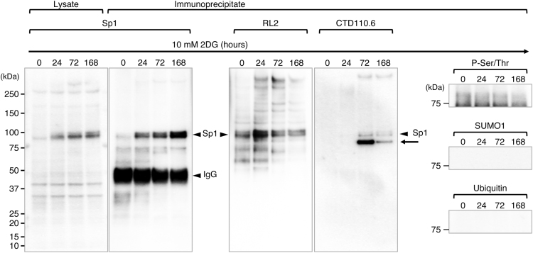 Western blot analysis of Sp1 protein in 2DG-treated NCCIT cells. The whole cell lysates of NCCIT cells treated with 2DG for the indicated times (0, 24, 72, or 168 h) were precipitated with an anti-Sp1 antibody (D4C3), and the precipitated proteins were immunoblotted with D4C3, anti- O -GlcNAc antibodies (RL2 or CTD110.6), anti-Phosphoserine/threonine (P-Ser/Thr), anti-SUMO1, or anti-Ubiquitin. These transcriptional modifications were observed in Sp1 proteins [6] . Among these modifications, only O -GlcNAcylation was clearly detected in the D4C3 precipitates. The Sp1 levels in whole cell lysates were shown as a reference (left panel).