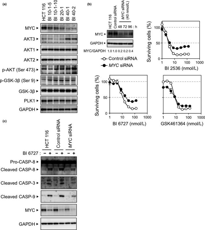 Downregulation of MYC is involved in resistance to polo‐like kinase inhibitors ( PLK is). (a) Expression levels of MYC , AKT s, AKT downstream proteins, and polo‐like kinase 1 ( PLK 1) in BI 2536‐resistant cell lines. (b) Sensitivity to PLK is in MYC ‐knockdown cells. HCT 116 cells were transfected with MYC ‐targeting si RNA , and MYC protein expression was examined by Western blot analysis (upper left panels). The normalized intensity ratio ( MYC / GAPDH ) is indicated at the bottom of the blots. At 48 h after transfection, the cells were treated with PLK is for an additional 48 h and subjected to WST ‐8 assay. (c) PLK i‐induced caspase activation in MYC ‐knockdown cells. HCT 116 cells were transfected with MYC ‐targeting si RNA . At 48 h after transfection, the cells were treated with BI 6727 (100 nmol/L) for an additional 24 h. The levels of cleaved caspase ( CASP )‐3, ‐8, and ‐9 and MYC were examined by Western blot analysis. <t>GSK</t> <t>‐3β,</t> glycogen <t>synthase</t> kinase 3β; p‐, phosphorylated.