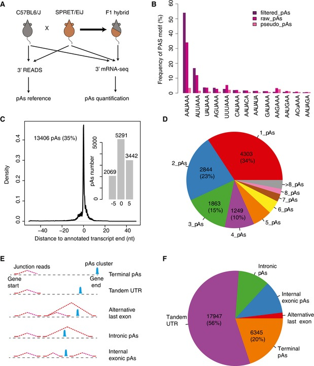 Experimental design and construction of the pAs reference Study design. 3′ READS method was used to identify the pAs expressed in the fibroblasts from C57BL/6J and SPRET/EiJ mouse strains. 3′ <t>mRNA‐Seq</t> method was used to quantify the usage of the identified pAs in both two parental strains and their <t>F1</t> hybrids. The frequencies of 13 known PAS motifs in the 100 nt upstream region of pAs identified in C57BL/6J. pseudo_pAs represents pAs identified by using reads without non‐genomic T ( Materials and Methods ). raw_pAs and filtered_pAs represent the pAs determined by the PASS reads with and without further filtering, respectively ( Materials and Methods ). X ‐axis shows different types of PAS motifs, and y ‐axis shows the percentage of pAs with the specific motif in the upstream region. See Fig EV1 C for the results from SPRET/EiJ. 13,406 pAs identified in this study were located within 50 nt away from the 3′ end of RNA transcripts annotated in Ensembl. X ‐axis shows the distance between the 13,406 pAs identified in this study and the annotated pAs. Y ‐axis represents the density. Inset: Barplot shows the number of pAs with representative cleavage site identical to the annotated transcript ends as well as those within 5 nt upstream or downstream to the annotated ends, respectively. The pie chart shows the percentage of protein‐coding genes with different number of pAs. Schematic definition for different types of pAs. See Materials and Methods for the details. Pie chart shows the percentage of different types of pAs identified in this study.