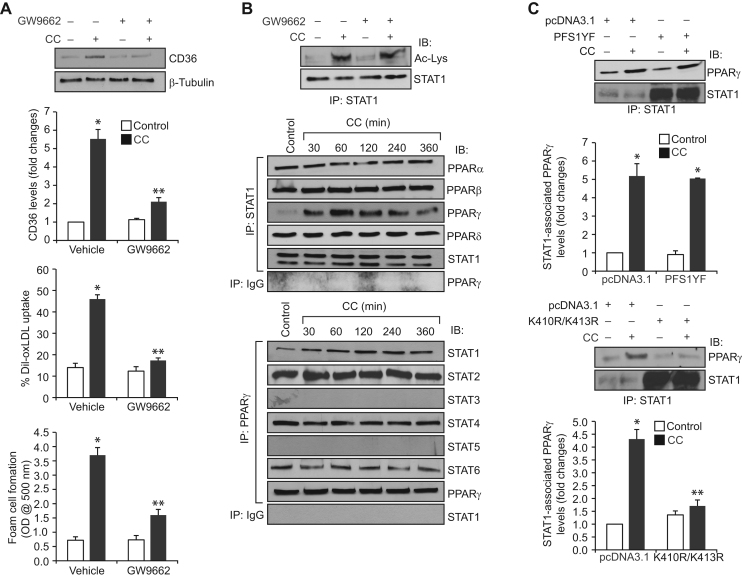 CC-induced CD36 expression, oxLDL uptake and foam cell formation require STAT1 interaction with PPARγ. A. Quiescent cells were treated with vehicle or CC (40 μg/ml) in the presence and absence of GW9662 (5 μM) and analyzed for CD36 expression, oxLDL uptake or foam cell formation as described in Fig. 1 , panel C. B. Upper panel: Quiescent cells were treated with and without CC in the presence and absence of GW9662 for 1 h and analyzed for STAT1 acetylation as described in Fig. 1 , panel F. Middle and bottom panels: Equal amounts of protein from control and the indicated time periods of CC-treated cells were immunoprecipitated with anti-STAT1 or anti-PPARγ antibodies or IgG and the immunocomplexes were analyzed by Western blotting for the indicated proteins using their specific antibodies and normalized for STAT1 or PPARγ. C. Cells were transfected with vector, PFS1YF or K410R/K413R, quiesced, treated with and without CC for 1 h and equal amounts of protein from control and each treatment were immunoprecipitated with anti-STAT1 antibodies and the immunocomplexes were analyzed by Western blotting for PPARγ. The blots were reprobed for STAT1 over expression. The bar graphs represent Mean±S.D. of three experiments *p