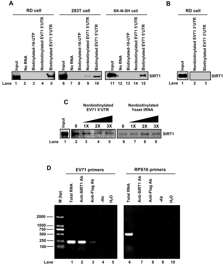 SIRT1 binds directly to EV71 5′UTR, but not 3′UTR. (A–C) Cell extracts of RD, 293T or SK-N-SH cells were prepared and used as inputs, or incubated with no RNA, <t>biotin-16-UTP,</t> <t>non-biotinylated</t> EV71 5′UTR or biotinylated EV71 5′UTR (A). RD cell lysates were prepared and used as input, or were incubated with nonbiotinylated EV71 3′UTR RNA or biotinylated EV71 3′UTR RNA (B). RD cell lysates were prepared and used as input, or were incubated with biotinylated EV71 3′UTR RNA along with different concentrations of non-biotinylated EV71 3′UTR RNA or nonbiotinylated yeast tRNA (C). Protein–RNA pulldown assays were carried out with anti-SIRT1 antibody and precipitated with protein G. Interactions between SIRT1 and EV71 5′UTR were determined by western blotting with anti-SIRT1 antibody. (D) RD cells were infected with EV71 at an MOI of 10 for 12 h. Cell extracts were prepared and used for mRNA RNA extraction (Total RNA), or were used for protein–RNA pulldown assays with anti-SIRT1 antibody, anti-Flag antibody, without antibody or with water and followed by mRNA extraction. Then standard RT-PCR analysis using primers specific to EV71 5′UTR RNA or ribosomal protein S16 (RPS16) was performed.