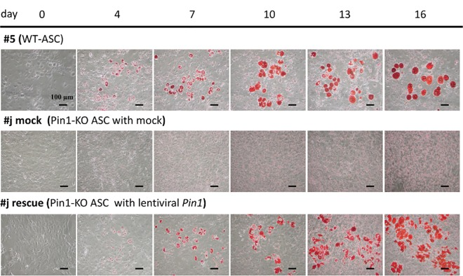 Comparison of ASC differentiation to adipocytes. Comparison of adipocyte differentiation between the WT ( Pin1 +/+ ; p53 -/- ) ASC and Pin1-KO ( Pin1 -/- ; p53 -/- ) ASC, and Pin1-KO ASC rescued with the lentiviral Pin1 cDNA. The wild type ASC, the Pin1-KO ASC- infected with Mock and the Pin1-KO ASC- infected with lentiviral Pin1 cDNA were cultured in DMEM containing 0.5 mM <t>3-isobutyl-1-methylxanthine,</t> 1 μM dexamethasone, and 1.7 μM insulin for 0–16 days. ASCs were treated with 4% paraformaldehyde and 60% 2-propanol, and then stained with Oil Red O. The images of the oil red O-stained cells on 0, 4, 7, 10, 13, and 16 days after treatment with the differentiation reagent are shown.