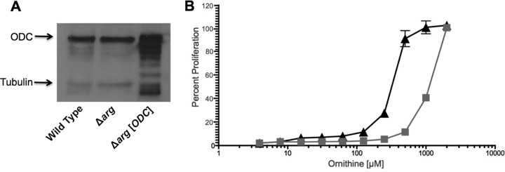 Ornithine requirement for Δ arg [ ODC ] promastigotes. (A) Western blot analysis was performed with cell lysates prepared from wild-type parasites, the parental Δ arg line, and the Δ arg [ ODC ] ODC overproducer strain. Parasite lysates were fractioned by SDS-PAGE and the blot probed with polyclonal antibodies against L. donovani ODC and an anti-tubulin antibody as a loading control. (B) Growth phenotypes of Δ arg (gray squares) and Δ arg [ ODC ] (black triangles) promastigotes were established in increasing concentrations of ornithine. Parasites were incubated at 5 × 10 5 parasites/ml, and percent proliferation was evaluated after 5 days via the ability of parasites to convert resazurin to resorufin as assessed by fluorescence, and readings obtained with the highest supplement concentrations were equated with 100% proliferation. The experiments were set up in duplicate and repeated three times with similar results.