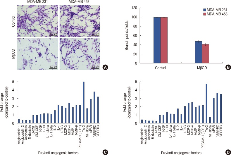 Effect of Lipid raft disruption on tumor induced angiogenesis and expression of angiogenic molecules. In vitro angiogenesis in MDA-MB 231 and MDA-MB 468 cells (A). Tumor-induced tube formation in human umbilical vascular endothelial cells (HUVEC) cells was carried out as described in METHODS. The tube formation was observed under the bright field microscope and number of branch points were calculated (stained with Hema 3, ×400). (B) Graphical representation of relative branch points in MDA-MB 231 and MDA-MB 468 cells treated with methyl-β-cyclodextrin (MβCD). Bars represents the mean±SE of three different experiments. Expression of pro and antiangiogenic molecules in HUVEC and MDA-MB 231 or MDA-MB 468 co-cultures. Conditioned media from HUVEC and MDA-MB 231 or MDA-MB 468 co-cultures, exposed to angiogenesis antibody arrays and processed as per manufacturer's instructions. Graphical representation of fold change of pro- and antiangiogenic molecules (C, D).