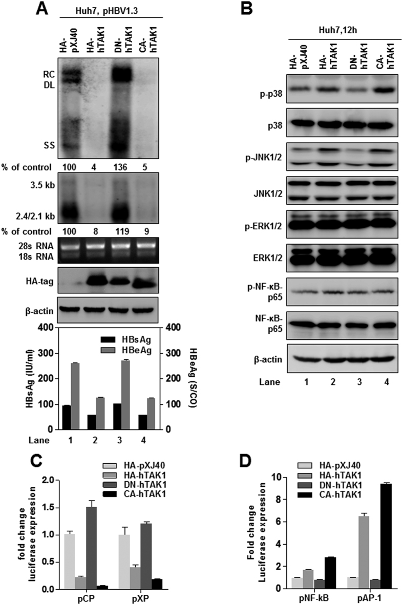 TAK1 inhibition of HBV replication and gene expression requires activation of downstream MAPK pathways. ( A ) Huh7 cells were co-transfected with 1.5 μg of pHBV1.3 and 1.5 μg of pXJ40-HA, or plasmids expressing HA-hTAK1, DN-hTAK1 or CA-hTAK1. Cells were harvested 72 h after transfection. HBV RI, viral RNAs and HBsAg and HBeAg were determined as described above. HA-tag and β-actin (loading control) were examined by Western blot, 28 S/18 S rRNAs served as loading controls for Northern blot analysis. ( B ) Huh7 cells were co-transfected with 100 ng of pCP or pXP, and 100 ng of pXJ40-HA or plasmids expressing HA-hTAK1, DN-TAK1 or CA-TAK1. Cells were harvested 48 h after transfection and firefly and Renilla luciferase activities were measured and normalized against those generated by the pGL3-basic control plasmid. ( C ) Huh7 cells were transfected with 1.5 μg of pXJ40-HA or plasmids expressing HA-hTAK1, DN-TAK1, and CA-TAK1. Phosphorylation and basal expression levels of p38, JNK, ERK, and NF-κBp 65 were analyzed by Western blot 12 h after transfection, using β-actin as loading control. ( D ) Huh7 cells were seeded in 24-well plates and transfected with 100 ng of the reporter plasmids <t>pNF-κB-luc</t> (pNF-kB) or pAP1-luc (pAP-1) and 100 ng of pXJ40-HA, hTAK1, DN-TAK1, or CA-TAK1. For each transfection, 100 ng of <t>pRL-TK</t> was included as an internal control of transfection efficiency. Cells were harvested 48 h after transfection and firefly and Renilla luciferase activities were measured and normalized against those generated by the pGL3-basic control plasmid.