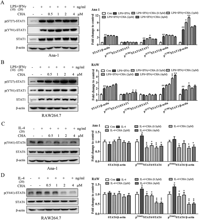 Effect of CHA on the STAT signaling pathways in macrophages. Ana-1 ( A ) and RAW264.7 ( B ) cells were treated with lipopolysaccharide (LPS) (10 ng/ml) and interferon (IFN)-γ (20 ng/ml) with or without different concentrations of CHA for 24 h. The expressions of Ser727-phosphorylated STAT1 (p-STAT1 ser727 ), Tyr701-phosphorylated STAT1 (p-STAT1 Tyr701 ) and STAT1were evaluated by a Western blot analysis. Ana-1 ( C ) and RAW264.7 ( D ) cells were treated with interleukin (IL)-4 (20 ng/ml) in the presence of DMSO or indicated concentrations of CHA for 24 h. The expressions of Tyr641-phosphorylated STAT6 (p-STAT6 Tyr641 ) and STAT6 were evaluated by a Western blot analysis. The histogram bars represent three independent experiments. The data are presented as the mean ± SD. # p-value