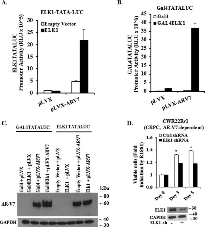 Functional association of ELK1 and AR-V7 and effect on cell growth. A, HeLa cells were co-transfected with an ELK1-driven minimal promoter-luciferase reporter (( ELK1 ) 2 - TATA-LUC ) and expression plasmid for either AR-V7 or WTELK1 or control vector plasmid for 48 h. Luciferase activity was measured in the cell lysates. For all transfections, a Renilla luciferase reporter was used as the control for transfection efficiency. B, HeLa cells were co-transfected with a Gal4-driven minimal promoter-luciferase reporter (Gal4-TATA-Luc) and expression plasmid for either AR-V7 or Gal4-ELK1 or control vector plasmid for 48 h. Luciferase activity was measured in the cell lysates. For all transfections, a Renilla luciferase reporter was used as the control for transfection efficiency. C shows a Western blot of HeLa cell lysates corresponding to all of the transfections in A and B, which was probed using an antibody to the amino-terminal domain of AR or with antibody to GAPDH (loading control). D, top panel shows the effect of depleting ELK1 by lentiviral shRNA transduction on the growth of CWR22Rv1 cells monitored by the MTT assay compared with control shRNA. The Western blot in the bottom panel shows ELK1 shRNA-induced depletion of ELK1 compared with control shRNA; GAPDH was probed as the loading control.