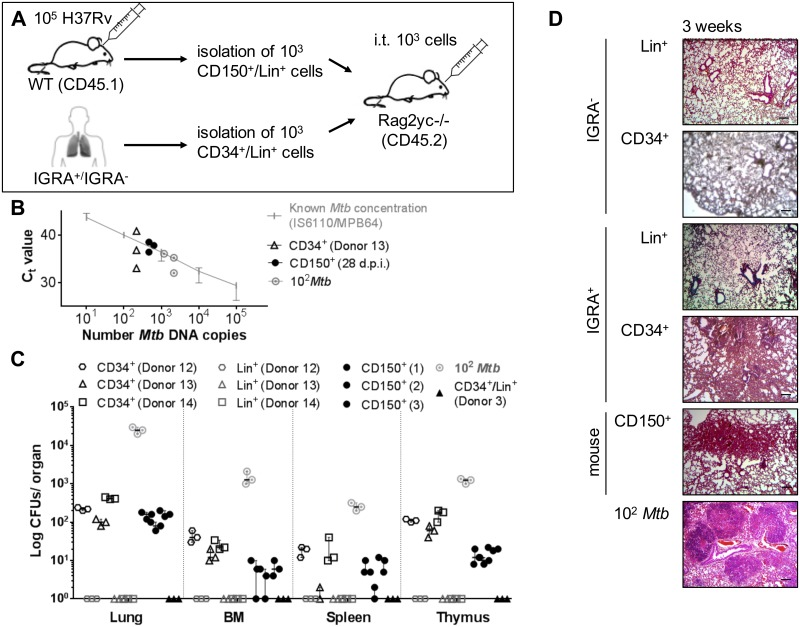 Intratracheal transfer of Mtb infected human and murine pHSCs leads to Mtb growth and increased cellularity into the lungs in transplanted hosts. (A) Injection of Lin - CD34 + and Lin + cells from blood of IGRA + human donors (Donor 12–14) and mouse LT-pHSCs from bone marrow 28 days p.i. into the trachea of Rag2 –/– Il2rg /– mice (3 mice/population). Transfer of 10 2 CFUs Mtb was used as positive (n = 3), uninfected pHSCs and Lin + cells of an IGRA − donor (Donor 3; n = 1) as negative, control. Recipients were analyzed after 3 weeks. (B) Monitoring of Mtb infection by TaqMan PCR using probes that target MPB64 and IS6110 together on genomic DNA of 10 5 lung cells 3 weeks upon transfer. PCRs were performed in technical triplicates and normalized to murine GAPDH. (C) CFU Mtb growth on Middlebrook 7H11 agar in cells of lung, spleen, thymus and non-separated, 10 5 bone marrow cells 3 weeks upon transfer (n = 3/population). Shown are data from 3 independent experiments. (D) Histopathology of representative lung sections 3 weeks upon transfer. Lungs were stained with hematoxylin/eosin, screened with 5×objectives and verified using a light microscope. Shown are representative data from 3 independent experiments. Data are shown as median + interquartile. Scale bar: 100 μm.