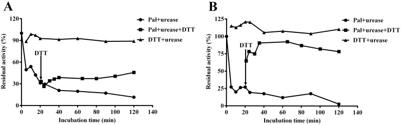 Reversal of Pal-inhibited HPU (A) and JBU (B) activity by <t>DTT.</t> The urease enzymatic activity was inhibited by Pal (•), and DTT (▪) was added post 20 min. In the assay system, 1.25 mM DTT and 0.5 mM Pal were used for both ureases (0.25 mg/mL). Activity of Pal-inhibited urease was monitored before and after DTT addition, 1.25 mM DTT without was used as a control. Results summarized here are the mean value of n = 3 ± SD.
