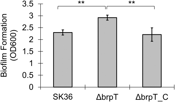 Deletion of brpT increases biofilm formation. S . sanguinis was cultured in BM supplemented with 1% sucrose, and biofilm biomass was determined by CV staining. Data from three biological replicates were averaged and the statistical significance between the brpT mutant, Δ brpT and the wild-type, SK36 or the complemented mutant, Δ brpT _C was determined by Student's t -test. **, indicates significance with P