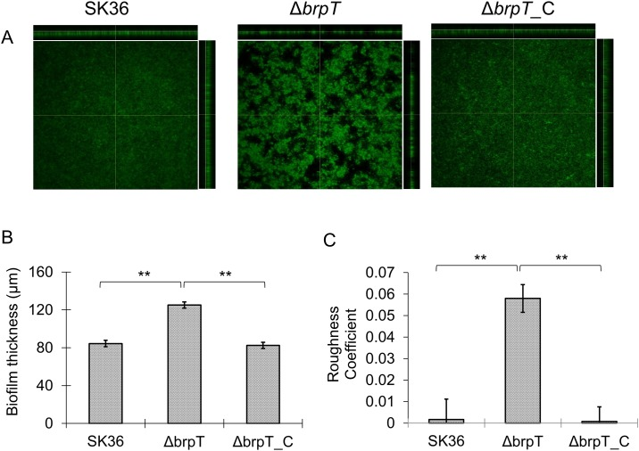 Deletion of brpT alters the biofilm structure. (A) Wild-type S . sanguinis , SK36, the brpT mutant, Δ brpT , and the complemented mutant, Δ brpT _C were grown in BM as described in Materials and Methods . After 24-h growth, the biofilms were washed and stained with SYTO 9, and z -stacks of each were acquired by CLSM with a Plan-Neofluar ×10/0.3 objective lens. Representative orthogonal views from three independent experiments are displayed. (B) Quantification of biofilm thickness by CLSM for the wild-type, Δ brpT and Δ brpT _C. (C) Quantification of biofilm roughness for the wild-type, Δ brpT and Δ brpT _C. **, indicates significance with P