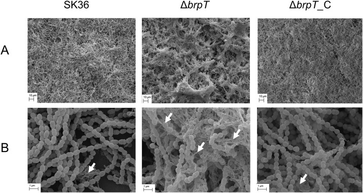 SEM analysis further reveals altered biofilm morphology and an increase in filamentous structures. Biofilms formed by the wild-type SK36, the brpT mutant, Δ brpT , and the complemented mutant, Δ brpT_C , scanned under (A) 1000x magnification and (B) 20,000x magnification revealed an altered morphology and an increase in filamentous structures for Δ brpT compared to the wild-type and complemented mutant. White arrows indicate filamentous substances.