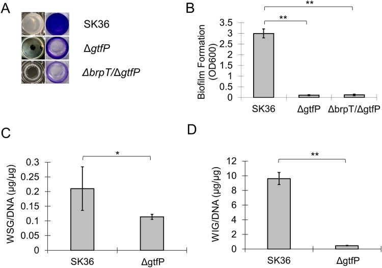 Deletion of gtfP in S . sanguinis decreases biofilm attachment and glucan synthesis. Wild-type, the gtfP mutant, Δ gtfP , and the double mutant, Δ brpT /Δ gtfP , were cultured in BM with 1% sucrose for 24 h anaerobically and analyzed. (A) Weak attachment of the Δ gtfP and the Δ brpT /Δ gtfP biofilm (pellicle) to the polystyrene surface and reduced biofilm biomass determined by CV staining. (B) Quantification of biofilm formation (OD 600 ). Quantification of (C) water soluble glucans, WSG and (D) water insoluble glucans, WIG accumulated within the biofilm. **, indicates significance with P