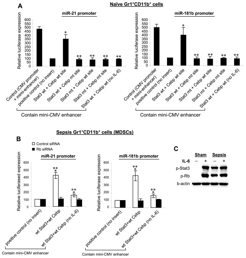 The Stat3 and C/EBP binding sites from miR-21 or miR-181b promoters enhance reporter gene expression ( A ) Gr1 + CD11b + cells were isolated from the bone marrow of naive mice. Cells were transfected with a renilla luciferase plasmid plus a luciferase plasmid containing native or mutated Stat3 and C/EBP binding sites. Cells were incubated for 24 hr without or with 10 ng/ml of recombinant mouse IL-6. Transfection with a luciferase plasmid that contains the CMV promoter only served as a control for maximum luciferase activity. Transfection with a luciferase plasmid that contains the miniCMV enhancer only (no inserts) served as a positive control. Luciferase values were normalized to renilla luciferase and are presented relative to the positive control (set at 100%). Data are expressed as mean ± s.d. (* p ≤ 0.05) of three experiments. *, compare with positive control; **, compare with Stat3 wt + Cebp wt site construct. ( B ) Rb knockdown in sepsis Gr1 + CD11b + MDSCs diminishes the reporter gene expression that is induced by the Stat3 and C/EBP binding sequences. Gr1 + CD11b + cells were isolated from the bone marrow of late septic mice. Cells were first transfected with pools of control or Rb-specific siRNA for 24 hr. Cells were then washed, transfected with luciferase plasmids containing the Stat3 and C/EBP binding sites from the miR promoters, and treated as described in A . Cells were incubated for 24 hr without or with 10 ng/ml of mouse rIL-6. Data are expressed as mean ± s.d. )* p ≤ 0.05) of three experiments and are presented relative to the positive control, which contains no Stat3 or C/EBP binding sites. *, compare with positive control; **, compare with Rb siRNA. ( C ) IL-6 induces phosphorylation of Stat3 and Rb proteins during sepsis. Gr1 + CD11b + cells were isolated from the bone marrow of late septic mice and stimulated with IL-6. Levels of p-Stat3 and p-Rb were determined by immunoblot. The results are representative of two experiments.