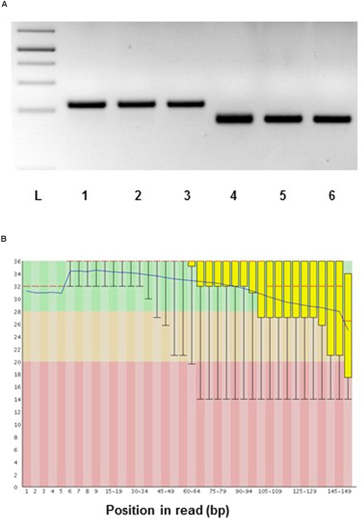 Suitability of <t>RNA</t> from LCM samples for gene expression analysis . (A) Aspen: reverse transcriptase-PCR of laser microdissected developing wood fibers of Populus tremula . RNA was amplified using the MessageAmp TM II aRNA <t>kit</t> (ThermoFischer) and then subjected to RT-PCR using actin and ubiquitin specific primers. PCR templates: 1 and 4, cDNA library constructed from Populus tremula x tremuloides developing wood total RNA; 2 and 5, cDNA library constructed from laser microdissected aspen fiber cells (starting from 4 ng of RNA); 3 and 6, cDNA library constructed from laser microdissected fiber cells (starting from 6 ng of RNA). PCR primers: 1 to 3, ACTIN ; 4 to 6, UBIQUITIN . L, 1 kb DNA ladder. PCR 35 cycles. (B) RNA sequencing, spruce: representative quality scores across all bases (Sanger/Illumina 1.9 encoding) for xylem tracheids collected by LCM. Y-axis – quality scores; the higher the score the better the base call. Green area – very good quality calls, orange – reasonable quality calls, red – calls of poor quality. Red line – median value, blue line – mean quality.