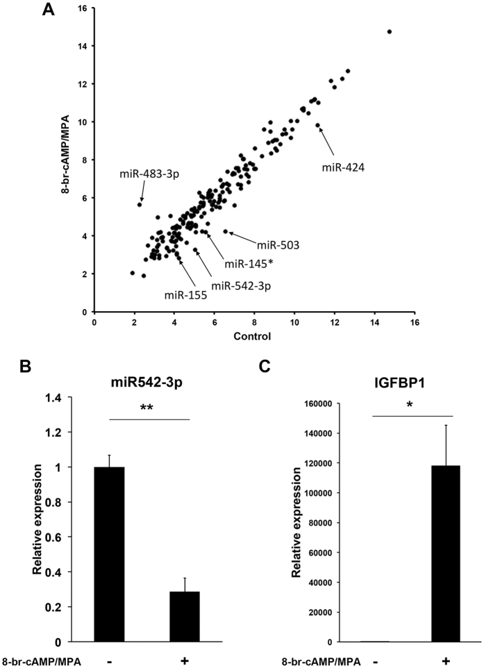 Identification of miRNAs involved in decidualization. ( A ) Scatter plot of miRNA microarray results. Total RNA from three independent HESC cultures, decidualized or not, were labelled and hybridised separately on the Agilent miRNA microarray, and signal intensity, which corresponds to the expression level of each miRNA, was measured. The intensity was averaged and converted to a log2 value. Expression level of each miRNA is shown as a scatter plot. The level of expression in undifferentiated and decidualizing HESCs is shown on the Y-axis and X-axis, respectively. qRT-PCR analysis of miR-542-3p and IGFBP1 mRNA expression in undifferentiated and differentiating HESCs in samples used for microarray experiments. ( B ) The level of miR-542-3p (miR-542-3p/ U6 ratio) expression in HESCs treated with 8-br-cAMP and MPA for 6 days was significantly down-regulated in comparison to untreated HESCs. ( C ) IGFBP1 mRNA expression, normalized to GAPDH mRNA (glyceraldehyde phosphate dehydrogenase), in HESCs treated with 8-br-cAMP and MPA for 6 days was significantly up-regulated in comparison to undifferentiated HESCs. The experiments were performed using three independent primary cell cultures. The data are shown as mean ± SEM. ** P