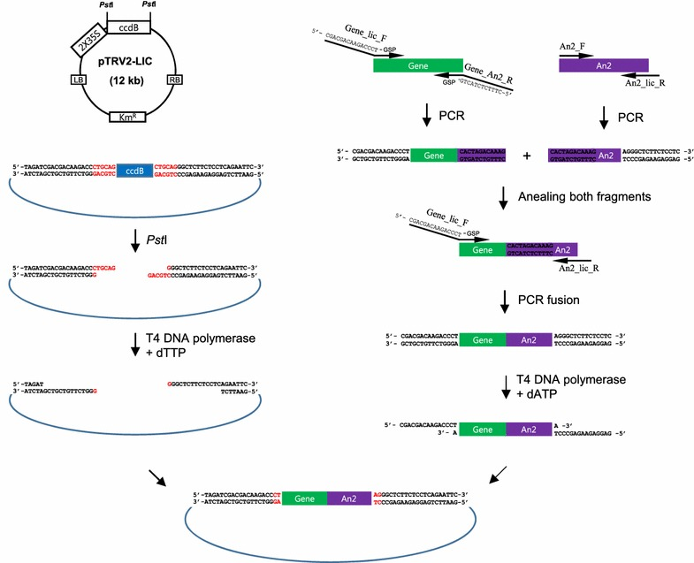 Cloning procedure using the  An2  reporter and the TRV2-LIC vector adapted from Dong et al. [  12 ]. The TRV2-LIC vector was digested with  Pst I and treated with T4 DNA polymerase and dTTP to generate sticky ends. The gene of interest was amplified by PCR using gene specific primers (GSP) and LIC (Gene_lic_F) and An2 adaptors (Gene_An2_R) using cDNA, and then treated with T4 DNA polymerase.  An2  was amplified using specific primers with an An2 adaptor (An2_F) and an LIC adaptor (An2_lic_R). The An2 adaptor sequence annealed to both the gene and  An2  fragments and a subsequent PCR using the LIC adaptor-attached primers fused the two fragments. The following PCR fragments were treated with T4 DNA polymerase and dATP to generate complementary sticky ends to anneal the ends of the linearized vector without DNA ligase. A mixture of both fragments was then transformed into  E. coli  DH5α