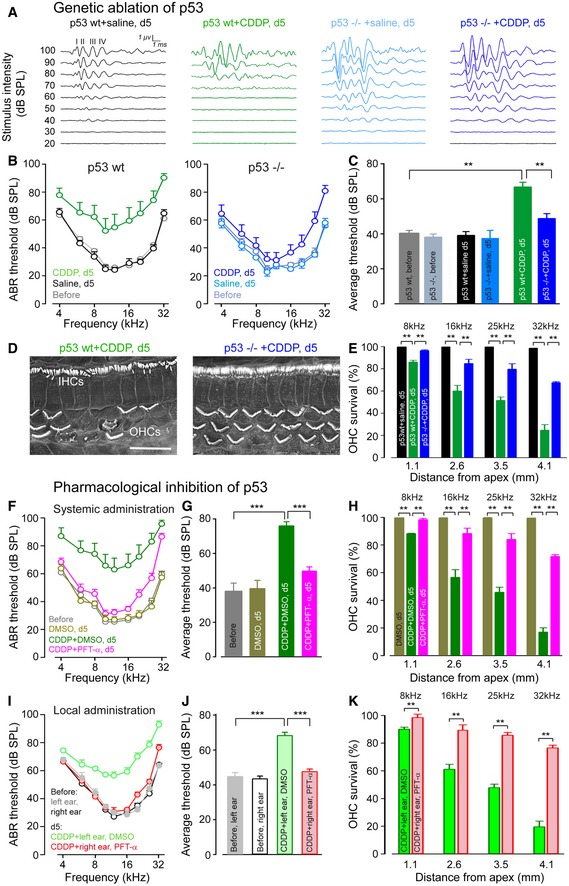 Genetic and pharmacological deletion of p53 prevents loss of hearing and hair cells in adult mice Representative auditory brainstem response (ABR) waveforms evoked by 16 kHz tone bursts in p53wt mice treated with saline (black plot) or CDDP (green plot), and p53 −/− mice treated with saline (light blue plot) or CDDP (dark blue plot) for 5 days. ABR thresholds recorded in p53wt mice before (gray plot) and after 5 days of saline (black plot) or CDDP treatments (green plot), and ABR thresholds recorded in p53 −/− mice before (light gray plot), and after 5 days of saline (light blue plot) or CDDP treatment (dark blue plot). Saline‐treated group: n = 7; CDDP‐treated group: n = 12. Mean ABR threshold from 4 kHz to 32 kHz derived from (B). One‐way ANOVA test followed by post hoc Tukey's test (** P ≤ 0.008; p53wt + CDDP, d5 versus p53wt, before or p53wt + CDDP, d5 versus p53 −/− + CDDP, d5). Representative scanning electron microscopy micrographs showing the basal regions of cochleae from CDDP‐treated p53wt and p53 −/− mice after 5 days. Scale bar = 15 μm. Cytocochleograms representing the percentage of surviving hair cells in four cochlear regions located at 1.1, 2.6, 3.5, or 4.1 mm from the cochlear apex provided from saline‐treated p53wt mice (black bars), CDDP‐treated p53wt mice (green bars), or p53 −/− mice (blue bars), after 5 days ( n = 5 per group). Kruskal–Wallis test followed by post hoc Dunn's test (** P ≤ 0.008, p53wt + CDDP, d5 versus p53wt + saline, d5 or p53wt + CDDP, d5 versus p53 −/− + CDDP, d5). ABR thresholds from p53wt mice recorded prior to (gray plot) or after 5 days systemic treatment with: DMSO (yellow plot), CDDP + DMSO (green plot), CDDP + PFT‐α (pink plot). DMSO‐treated group: n = 7; CDDP + DMSO‐treated group: n = 12; CDDP + PFT‐α‐treated group: n = 12. Mean ABR threshold from 4 to 32 kHz derived from (F). One‐way ANOVA test followed by post hoc Tukey's test (*** P ≤ 0.0005; CDDP + DMSO, d5 versus before or CDDP + DMSO, d5 versus CDDP + PFT‐α, d5)