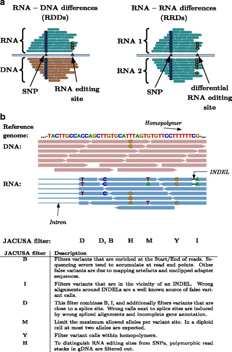 Possible nucleotide comparisons and implemented <t>JACUSA</t> filter. a Graphical representation of <t>RNA-DNA</t> differences (RDDs) and RNA-RNA-differences (RRDs) in head-to-head comparisons of sequencing data. b Possible sequencing artifacts and their respective JACUSA filters