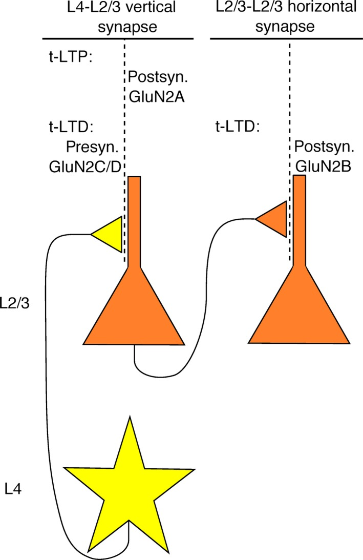 N‐Methyl‐D‐aspartate ( NMDA ) receptor involvement in plasticity at synapses of barrel cortex. At vertical synapses from L4 spiny stellate neurons to L2/3 pyramidal neurons, timing‐dependent long‐term potentiation (t‐LTP) requires postsynaptic GluN2A‐containing NMDA receptors, whereas t‐ LTD requires presynaptic GluN2C or ‐D‐containing receptors. In contrast, t‐ LTD at horizontal synapses between L2/3 pyramidal cells requires postsynaptic GluN2B‐containing receptors.