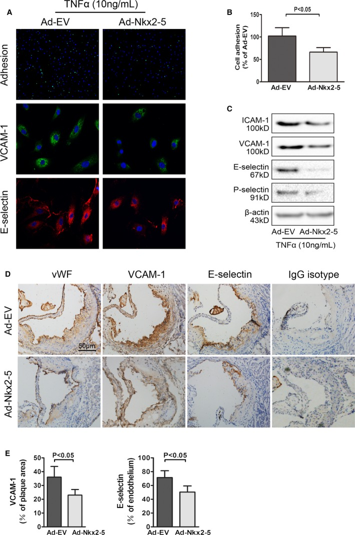 NK 2 homeobox 5 (Nkx2‐5) inhibits monocyte‐endothelial adhesion and decreases expression of adhesion molecules in early atherosclerosis. A, Upper panel: representative images used for quantification of peripheral blood monocytes ( PBMC ; green, calcein AM ) attached to aortic endothelial cells ( HAEC s, blue, DAPI ). Middle panel: effects of Nkx2‐5 on expression of vascular cell adhesion molecule‐1 ( VCAM ‐1) in endothelial cells (representative immunofluorescence image: green for VCAM ‐1 and blue for cell nuclei stained with DAPI ). Lower panel: effects of Nkx2‐5 on expression of E‐selectin in endothelial cells (representative immunofluorescence image: red for E‐selectin and blue for cell nuclei stained with DAPI ). B, Quantification of adhesion. The number of PBMC adhered to per 100 HAEC s was calculated. Results are expressed as a percent of values determined in the Ad‐ EV ‐treated group. Data represent the mean± SEM of 3 independent experiments. C, Representative immunoblot for intercellular adhesion molecule‐1 ( ICAM ‐1), VCAM ‐1, E‐selectin, and P‐selectin in endothelial cells infected with Ad‐ EV or Ad‐Nkx2‐5. D, Cross‐sections of early atherosclerotic lesions in aortic sinus were immunostained with antibodies against von Willebrand factor ( vWF ), VCAM ‐1, and E‐selectin. Staining with rabbit IgG isotype was used as the negative control. E, Quantification of histochemical staining of VCAM ‐1 and E‐selectin. Positive stained areas were quantified as a percentage of total plaque area or plaque endothelium. Data are expressed as mean± SEM (n=12 per group). AM indicates acetomethoxy; DAPI, 4′,6‐diamidino‐2‐phenylindole; HAECs, human aortic endothelial cells; IgG, immunoglobulin G; TNFα, tumor necrosis factor alpha.