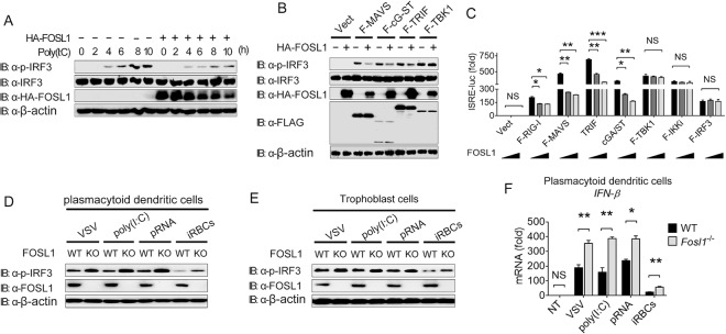 FOSL1 negatively regulates IFN-I signaling in different cell types. (A) Western blot analysis of phosphorylated IRF3 in 293T cells with or without overexpression of FOSL1 at different time points after poly(I:C) stimulation. (B) Western blot analysis of phosphorylated IRF3 in whole-cell lysates (WCL) of 293T cells after transfection with plasmids containing indicated genes encoding various adaptors, with or without overexpression of FOSL1. Vect, vector. (C) Luciferase activities in 293T cells transfected with ISRE-luc reporter plasmid together with plasmids expressing RIG-I, MAVS, cGAS plus STING, TRIF, TBK1, IKKi, or IRF3 and increasing amounts (0, 150, and 300 ng) of FOSL1 overexpression plasmid. (D) Western blot analysis of phosphorylated IRF3 in WT and FOSL1 KO plasmacytoid dendritic cells (pDCs) after stimulation with VSV, poly(I:C), parasite RNA (pRNA), or infected RBCs (iRBCs) for 16 h. (E) The same experiments as described for panel D but performed in trophoblast cells. (F) Real-time qPCR analysis of IFN-β mRNA levels in WT and FOSL1 KO pDCs stimulated with VSV, poly(I:C), parasite RNA (pRNA), or infected RBCs (iRBCs) for 16 h. No treatment (NT), control. The FOSL1 KO cells were generated using the LentiCRISPR/Cas9 system as described in Materials and Methods. *, P
