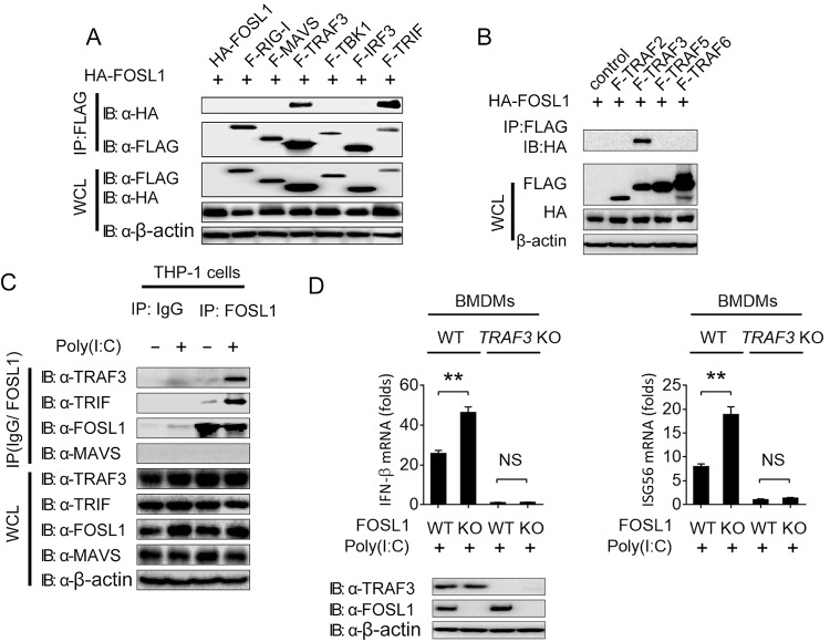 FOSL1 inhibits IFN-I response through modification of signaling molecules upstream of TBK1. (A) Immunoassay of 293T cell extracts transfected with plasmids encoding F-RIG-I, F-MAVS, F-TRAF3, F-TBK1, F-IRF3, and F-TRIF as well as HA-FOSL1, followed by immunoprecipitation (IP) with anti-FLAG beads and immunoblot analysis with anti-HA antibody. (B) Immunoassay of 293T cell extracts transfected with plasmids encoding F-TRAF2, F-TRAF3, F-TRAF5, and F-TRAF6 as well as HA-FOSL1, followed by IP with anti-FLAG beads and immunoblot analysis with anti-HA antibody. (C) IP and immunoblot analysis of THP-1 cell extracts treated with poly(I:C) or medium overnight. (D) Real-time qPCR analysis of IFN-β and ISG56 expression in WT, FOSL1 KO, TRAF3 KO, and FOSL1/TRAF3 double-knockout BMDMs after stimulation with poly(I:C) for 16 h. *, P