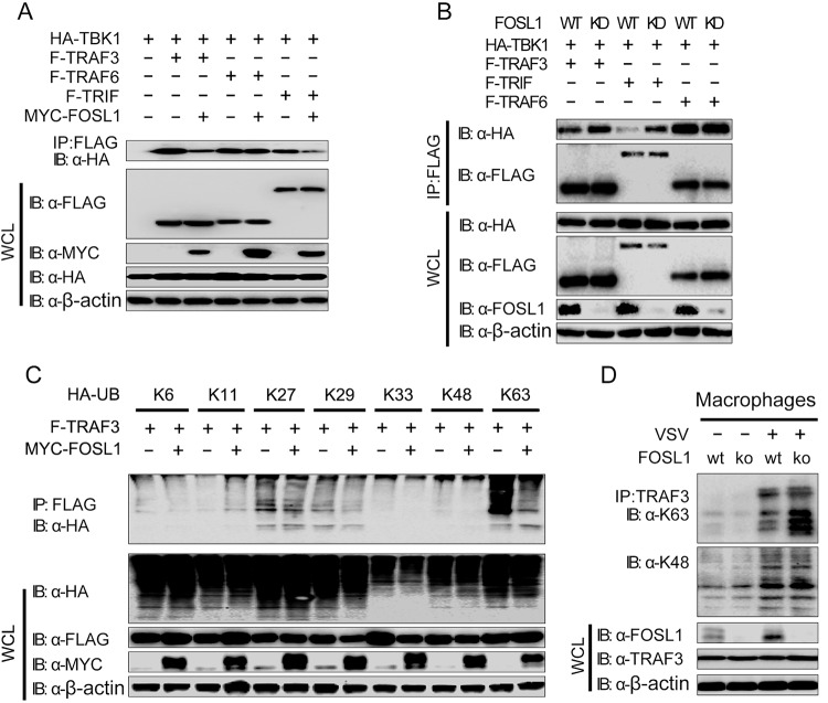 FOSL1 disrupts TBK1 and TRAF3/TRIF interactions and ubiquitination. (A) Cell lysates from 293T cells were transfected with expression plasmids for HA-TBK1, F-TRAF3, F-TRAF6, and F-TRIF with or without MYC-FOSL1, followed by immunoprecipitation (IP) with anti-FLAG and immunoblotting (IB) with antibodies against HA, FLAG, and MYC. (B) Cell lysates from 293T WT and FOSL1 knockdown cells were transfected with HA-TBK1, F-TRAF3, F-TRAF6, and F-TRIF, followed by IP with anti-FLAG and IB with antibodies against HA, FLAG, and endogenous FOSL1. (C) Cell lysates from 293T cells were transfected with expression plasmids for F-TRAF3 and different types of HA-ubiquitin (HA-UB) with or without overexpression of MYC-FOSL1. Co-IP for TRAF3 was performed using anti-FLAG breads and IB with antibodies against HA, FLAG, and MYC. (D) Cell lysates from WT and FOSL1 knockout macrophages (generated by the CRISPR/Cas9 technique) infected with VSV for 18 h (or left uninfected as a control) were subjected to coimmunoprecipitation using anti-TRAF3 antibody and detected with the indicated antibodies in Western blotting. Data are representative of three independent experiments with similar results.