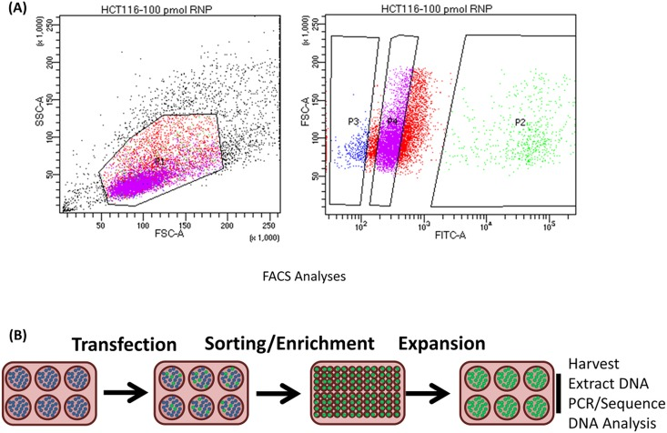 (A) FACSAria II plots of gene editing activity in HCT 116–19 cells . HCT 116–19 cells synchronized for 24 hours at the G1/S border and released were electroporated with 100 pmol of RNP complex and 2.0 μM of the 72NT ssODN. After 72 hours, the cells were analyzed using FACS and single cells were sorted individually into 96-well plates. Two distinct populations were collected. The population of live, green cells (labeled as P2 on the FACS plot) as well as the population of live, non-green cells (labeled as P3) were segregated into separate clonal expansion plates. (B) Experimental strategy isolation of single cell clones. Cells exhibiting eGFP expression were scored positive and sorted using a FACSAria II flow cytometer as single cells into individual wells for clonal expansion. Cells lacking eGFP expression isolated and sorted in a similar fashion and expanded under the same conditions. DNA was then isolated and the eGFP gene was amplified and subjected to Sanger sequencing to analyze gene editing activity surrounding the target site.
