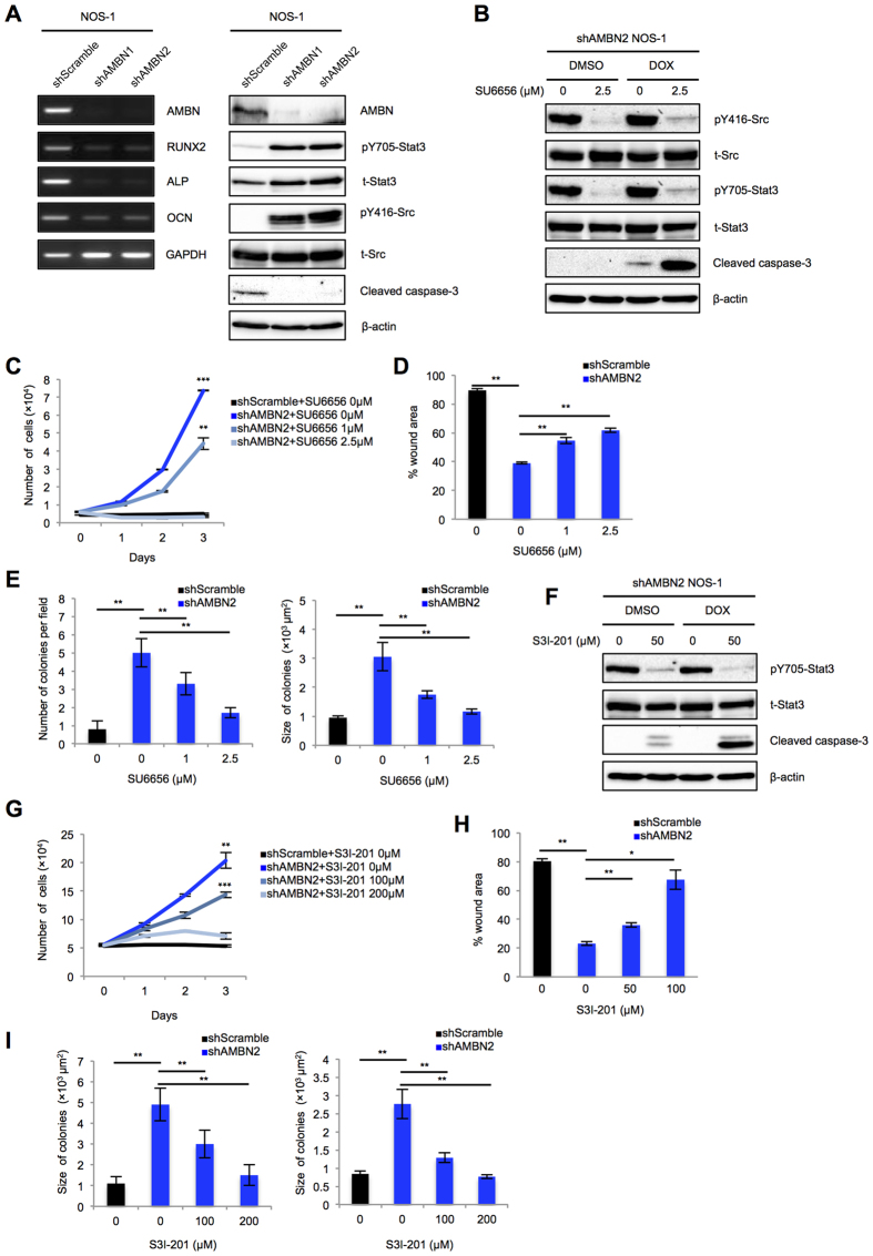 AMBN knockdown suppresses apoptosis, sensitivity to doxorubicin, and promotes cell migration and colony formation through the Src-Stat3 pathway in NOS-1 cells. ( A ) The expression of AMBN, RUNX2, ALP, and OCN at the mRNA level (left panel) and AMBN, pY705-Stat3, total-Stat3, pY416-Src, total-Src and cleaved caspase-3 at the protein level in shscramble, shAMBN1, and shAMBN2 NOS-1 cells was examined (right panel). ( B , F ) shAMBN2 NOS-1 cells were pretreated with SU6656 or S3I-201 at indicated concentration for 24 h. The pretreated shAMBN-2 NOS-1 cells were subsequently treated with DMSO or doxorubicin (0.5 μg/mL) for 24 h and the expression of pY416-Src, total-Src, pY705-Stat3, total-Stat3, and cleaved caspase-3 was examined. ( C , G ) shscramble and shAMBN-2 NOS-1 cells were treated with SU6656 o S3I-201 at indicated concentration and cell growth was counted on days 0, 1, 2, and 3 ( N = 3). ( D , H ) Cell migration activity of pretreated shscramble and shAMBN-2 NOS-1 cells was examined. Wound areas at 5 h were quantified in the graphs ( N = 3). ( E , I ) Colony formation in pretreated shscramble and shAMBN-2 NOS-1 cells was analyzed. Quantification of colony number (left panel) and size (right panel) was shown ( N = 20). Mean ± SEM ( C–E , G–I ); ** P