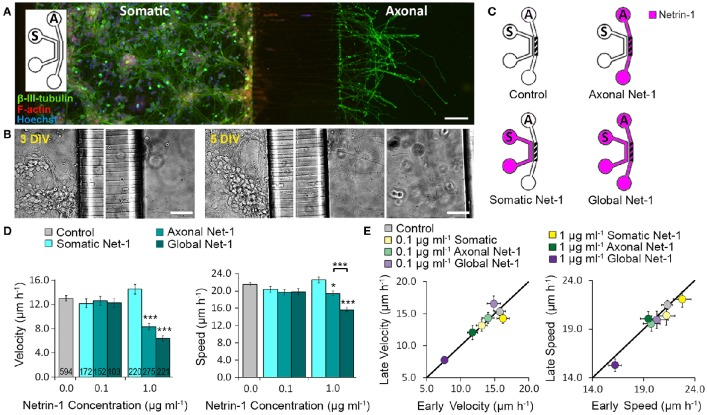 Axon elongation depends on the localization of Netrin-1 treatment. (A) Neurons cultured in the bicompartmental device (inset) send neurites from the somatic ( S ) to the axonal ( A ) compartment through microchannels. Scale bar = 80 μm. (B) Neuronal growth profile at 3 and 5 days in vitro (DIV). Scale bars = 50 μm. (C) Modes of Netrin-1 treatment. The axon elongation was measured in the axonal compartment (hatch). (D) Average velocity and speed (mean ± s.e.m.) for increasing Netrin-1 concentrations and different compartments of delivery. The numbers on bars represent the number of individual axons from N ≥ 2 independent experiments (Table S1 ); statistical significance compared to controls unless indicated otherwise; * p