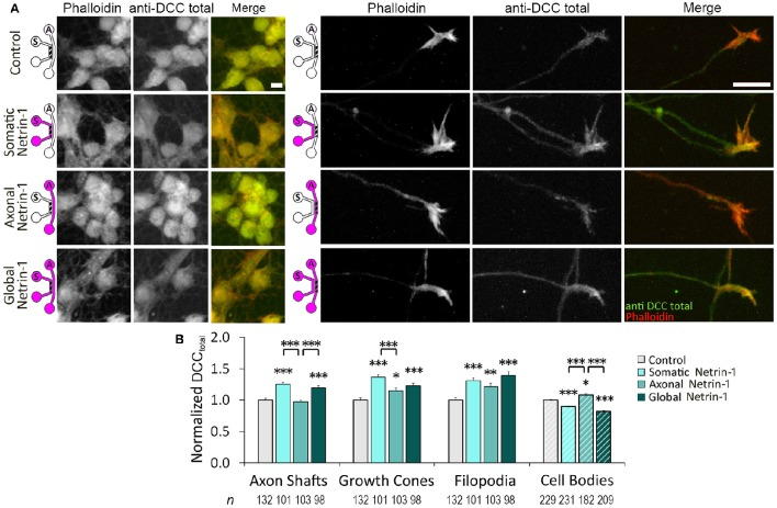 Netrin-1 treatment modulates local and long-range total DCC. (A) Total DCC staining upon 90 min-long somatic, axonal, or global treatment with 1.0 μg ml −1 Netrin-1 or vehicle (control). The schematics show which compartment, somatic ( S ) or axonal ( A ), underwent Netrin-1 treatment (pink) and which compartment was imaged (hatch). Scale bars = 10 μm. (B) DCC staining intensity (mean ± s.e.m.) was measured in the ROIs in the axonal (solid fill) and somatic (hatch fill) compartments, and normalized with the control signal. n is the number of individual ROIs from N ≥ 3 independent experiments (Table S4 ); statistical significance compared to controls unless indicated otherwise; * p