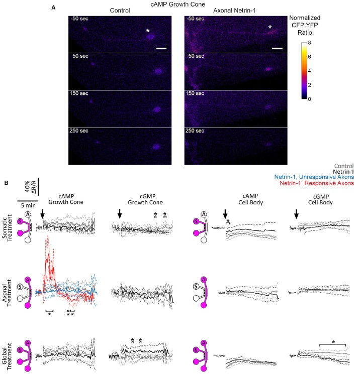 Netrin-1 modulates cyclic nucleotides differentially for the local and global treatments. (A) Pseudo-colored cAMP CFP:YFP fluorescence intensity ratio (ΔR), normalized by the baseline ratio (R), in distal axons in response to axonal treatment with Netrin-1 or vehicle (control). Scale bars = 5 μm. (B) cAMP and cGMP signals in growth cones and in cell bodies in response to treatments (arrows) with vehicle (gray) or with local or global Netrin-1 treatments (black). Growth cone cAMP signals are given separately for responsive (red) and unresponsive (blue) axons. Data are given as mean with 95% confidence interval (broken lines). * p