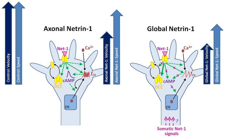Putative mechanisms for the neuronal response to locally and globally applied Netrin-1 . Axonal and global Netrin-1 treatments differentially regulate membranous and total DCC levels, and the dynamics of second messengers. Arrows indicate the character and strength of the change as measured in our experiments (solid lines) and based on the literature (broken lines). Axonal Netrin-1 increases cAMP level, the frequency of Ca 2+ transients and the total and membranous DCC levels in growth cones. cAMP supports Ca 2+ efflux from the endoplasmic reticulum (ER); high level of Ca 2+ leads to calcium-induced calcium release (CICR). Global Netrin-1 increases total DCC levels, but not membranous DCC levels, cAMP or the frequency of calcium transients. CICR is inhibited. Axonal Netrin-1 slightly affects the axon speed, and severely decreases axon velocity (block arrows). Global Netrin-1 significantly decreases both, axon speed and velocity. Differences in axonal and global Netrin-1 responses suggest that neurons sense Netrin-1 along their entirety and alter their response accordingly; however, the mechanisms of anterograde propagation of Netrin-1-induced signals are unknown.